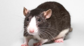 Oamenii au luat hepatita E de la şobolani, în Hong Kong, iar cercetătorii nu ştiu de ce