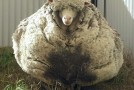 """Oaia Chris a intrat în Cartea Recordurilor cu o """"recoltă"""" de lână de peste 41 de kilograme"""
