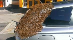 Mii de albine au urmărit această maşină timp de 2 zile. Ce a determinat insectele la asemenea gest?