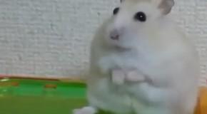 Un hamster și-a pierdut speranța în umanitate! Ce i-a făcut stăpânul de l-a dezamăgit atât de tare pe animăluț? (VIDEO)