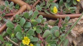 """Buruiana-minune """"iarba grasă"""", folosită de străini în salate şi medicamente, fiind bogată în Omega-3"""