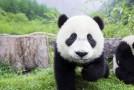 Lăsat nesupravegheat, un urs panda pe cale de dispariţie a oferit un adevărat spectacol