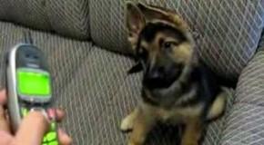 Reacția de milioane a unui câine atunci când aude telefonul sunând! Patrupedul te face să râzi cu lacrimi!