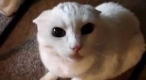 VIDEO – Așa arată cea mai nervoasă pisică din lume! Nimeni nu are curajul să se apropie de ea! Ce sunete bizare scoate felina