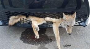 Un coiot lovit de o mașină a călătorit 35 kilometri în grila din față a autovehicului și a scăpat cu viață