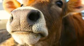 O vacă din Bulgaria ar putea fi sacrificată pentru că a traversat ilegal granița UE