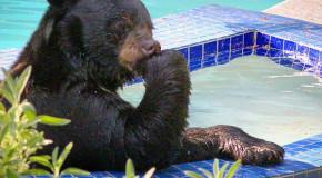 Un urs s-a relaxat cu stil  (video)