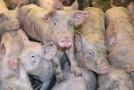 Alertã maximã la granita Vasluiului cu Republica Moldova, zeci de focare de pestã porcinã africanã confirmate