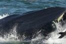 Un bărbat a scăpat cu viaţă după ce a fost înghiţit de o balenă!