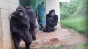 Reactia unor gorile care vor sa se adaposteasca de ploaie a devenit virala! (VIDEO)