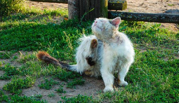 purici-pisica-pixabey-descopera