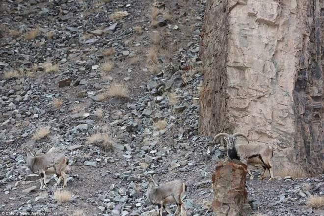 leopard ascuns