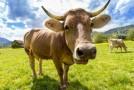 Un nou studiu scoate la iveală un obicei ciudat al vacilor. Ce fac acestea atunci când ajung la pubertate?