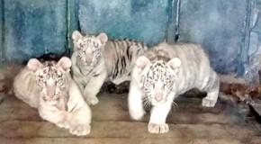 Tigrii bengalezi de la ZOO Bârlad asteaptã cuminti sã fie vãzuti de copii!